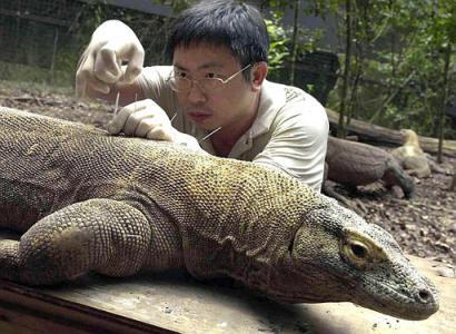Komodo dragon size - photo#11