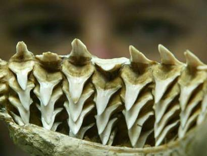 shark teeth rows. looks at rows of folded,